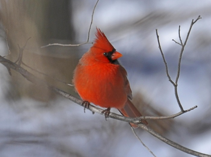 How to Attract Cardinals to Your Yard|classictasselsandmore.com