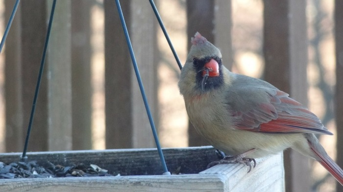How to Attract Cardinals to Your Yard-Female Cardinal-Feeder|classictasselsandmore.com