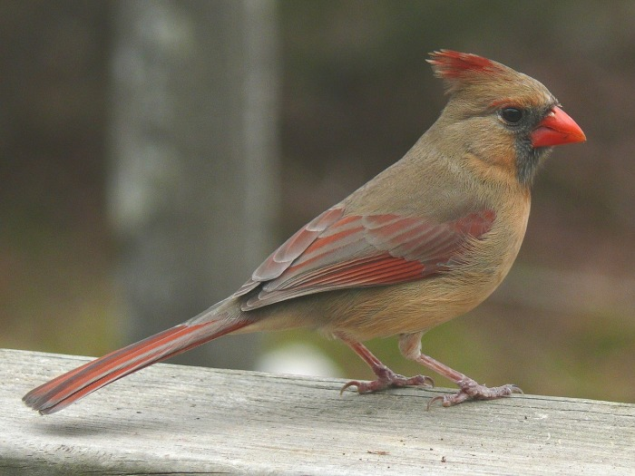 How to Attract Cardinals to Your Yard-Female Cardinal|classictasselsandmore.com