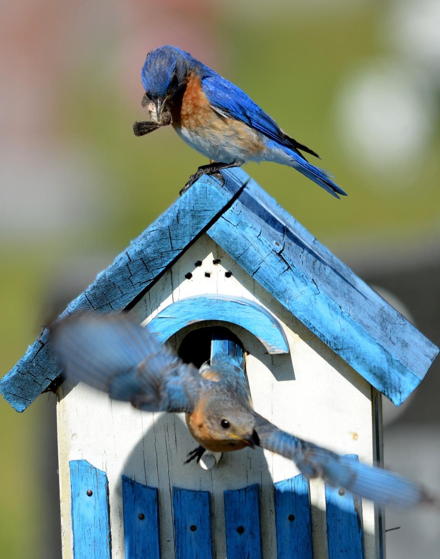 bluebird-1123356_1920