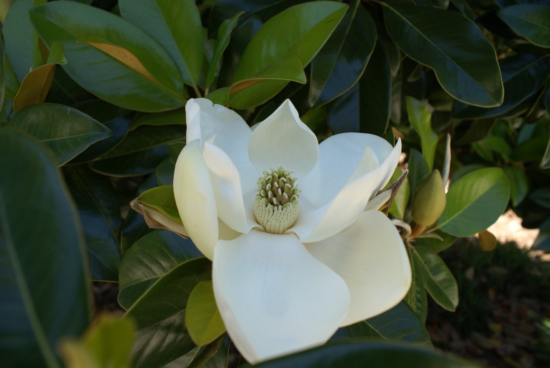 The Magnolia Flower: A Gracious Symbol of the South | www.classictasselsandmore.com