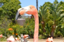 14 Things You May or May Not Know About the Flamingo | www.classictasselsandmore.com